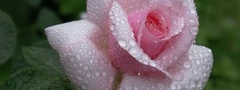 rose, pink, flower, waterdrops, dew, beautiful nature wallpapers, ����, ��� ...