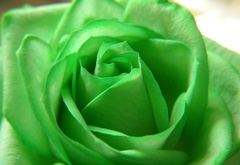 rose, green, flower, beautiful nature wallpapers, ����, ������, �����, ��������, �������